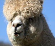 Close up of alpaca in field. English Midlands Stock Photo
