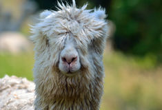 Close up of Alpaca head. Royalty Free Stock Photo