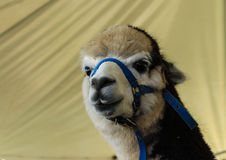 Close up Alpaca llama at farm expo. Close up of domestic farm alpaca wearing harness used for wool production Royalty Free Stock Photo