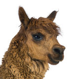Close-up of Alpaca looking away. Against white background Royalty Free Stock Photos