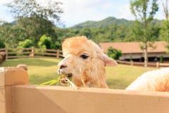Close up of alpaca in nature farm Stock Photo