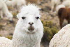 Close-up of an alpaca Stock Image