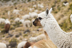 Close-up of an alpaca Stock Photography