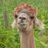 Close-up of Alpaca Stock Photo