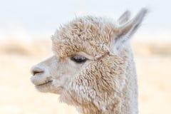 Close up of an alpaca Royalty Free Stock Photos