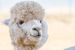Close up of an alpaca. Soft-focused Stock Photography