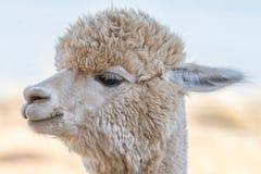 Close up of an alpaca Stock Photos