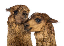 Close-up of Alpacas Royalty Free Stock Photo