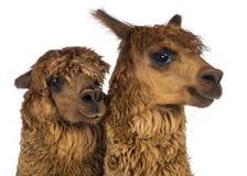 Close-up of Alpacas looking away Stock Photo