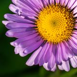 Alpine Aster Royalty Free Stock Photo