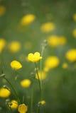 Close up amarelo da flor fotografia de stock royalty free