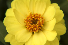Close up amarelo da flor do Zinnia Fotografia de Stock Royalty Free
