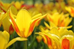 Close-up amarelo das tulipas fotos de stock