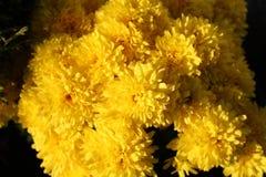 Close up amarelo do arbusto do crisântemo fotos de stock