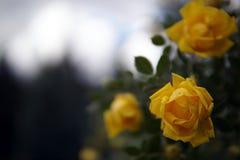 Close-up amarelo do arbusto do jardim de rosas imagens de stock
