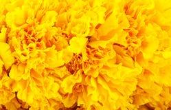Close up amarelo do cravo-de-defunto Fotos de Stock