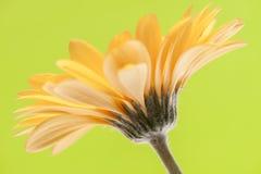 Close-up amarelo do gerber Imagens de Stock Royalty Free