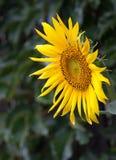 Close up amarelo do girassol Foto de Stock Royalty Free