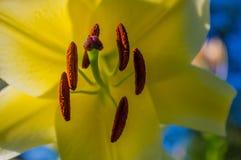 Close-up amarelo do lírio Imagem de Stock Royalty Free