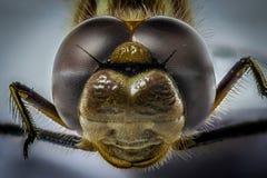 Close up amarelo do macro da cabeça da libélula Fotografia de Stock