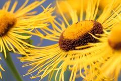 Close up amarelo do speciosa de Telekia Imagens de Stock Royalty Free