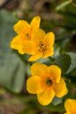 Close up amarelo dos botões de ouro da mola Fotografia de Stock Royalty Free