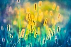 Close-up amarelo e azul do prado da grama do verão com fotos de stock royalty free