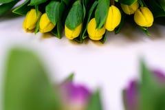 Close-up amarelo e tulipas roxas isoladas no fundo branco fotografia de stock