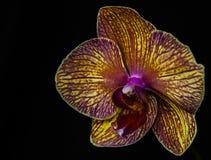Close up amarelo e violeta do macro da orquídea Foto de Stock