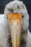 close up Amarelo-faturado da cegonha (íbis de Mycteria) Fotos de Stock