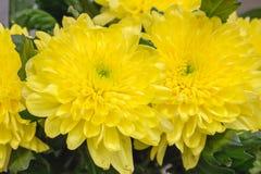 Close up amarelo grande fresco do crisântemo Foto de Stock