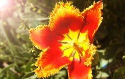close-up Amarelo-vermelho de Fabio da variedade da tulipa imagem de stock