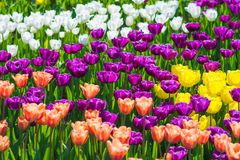 Close up amarelo, vermelho e roxo bonito do campo da tulipa Fotografia de Stock Royalty Free