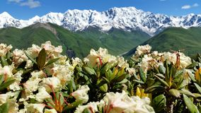 Close Up: Amazing Flower Blossom On The Background Of Green And Snow-Covered Mountains And Light Blue Sky With Feather Clouds, Upp Stock Images