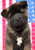Close-up of American Akita dog puppy stock photo