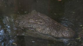 Close-up, American alligator in a pond, America. Extreme close-up high-angle portrait still shot of the head of a huge calm American alligator  mississippiensis stock footage