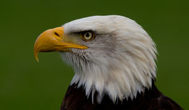 Close-up of an American bald eagle. Close-up of the head of an American Bald Eagle on a green background stock images