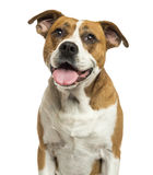 Close-up of an American Bulldog panting, isolated Stock Photo