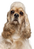Close-up of American Cocker Spaniel, 1 year old Royalty Free Stock Photo