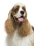 Close-up of an American Cocker Spaniel, looking away, isolated Stock Photo