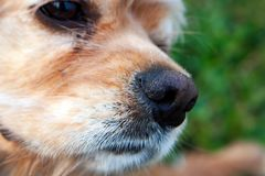 Close up of American Cocker Spaniel nose. Selective focus stock image