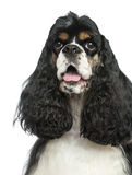 Close-up of an American Cocker Spaniel panting, isolated Stock Photography