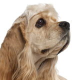Close-up of American Cocker Spaniel puppy. 1 year old, in front of white background Stock Photography