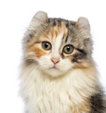 Close-up of an American Curl kitten, 3 months old, looking at the camera Stock Photos