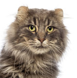 Close-up of an American Curl looking away Royalty Free Stock Image
