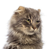 Close-up of an American Curl looking away Stock Photos
