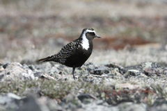 Close-up of American Golden Plover Stock Photo