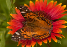 Close-up of an American Painted Lady butterfly Stock Image
