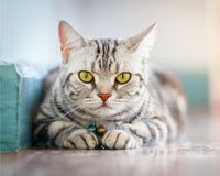 Close up american short hair cat sleeping on the floor in the house stock image