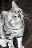 Close up of american shorthair cat. Close up of an american shorthair cat royalty free stock image
